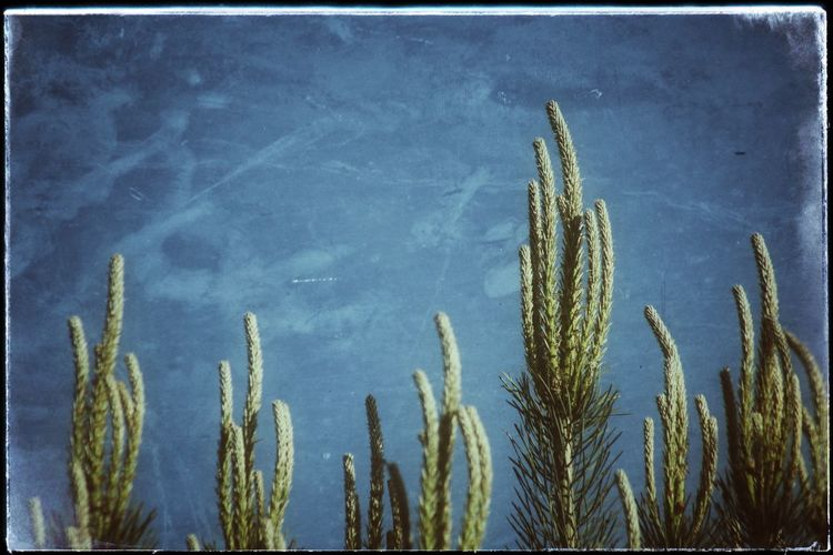 Pine Top Growth Plant Nature Outdoors No People Tranquility Day Beauty In Nature Cereal Plant Close-up Sky