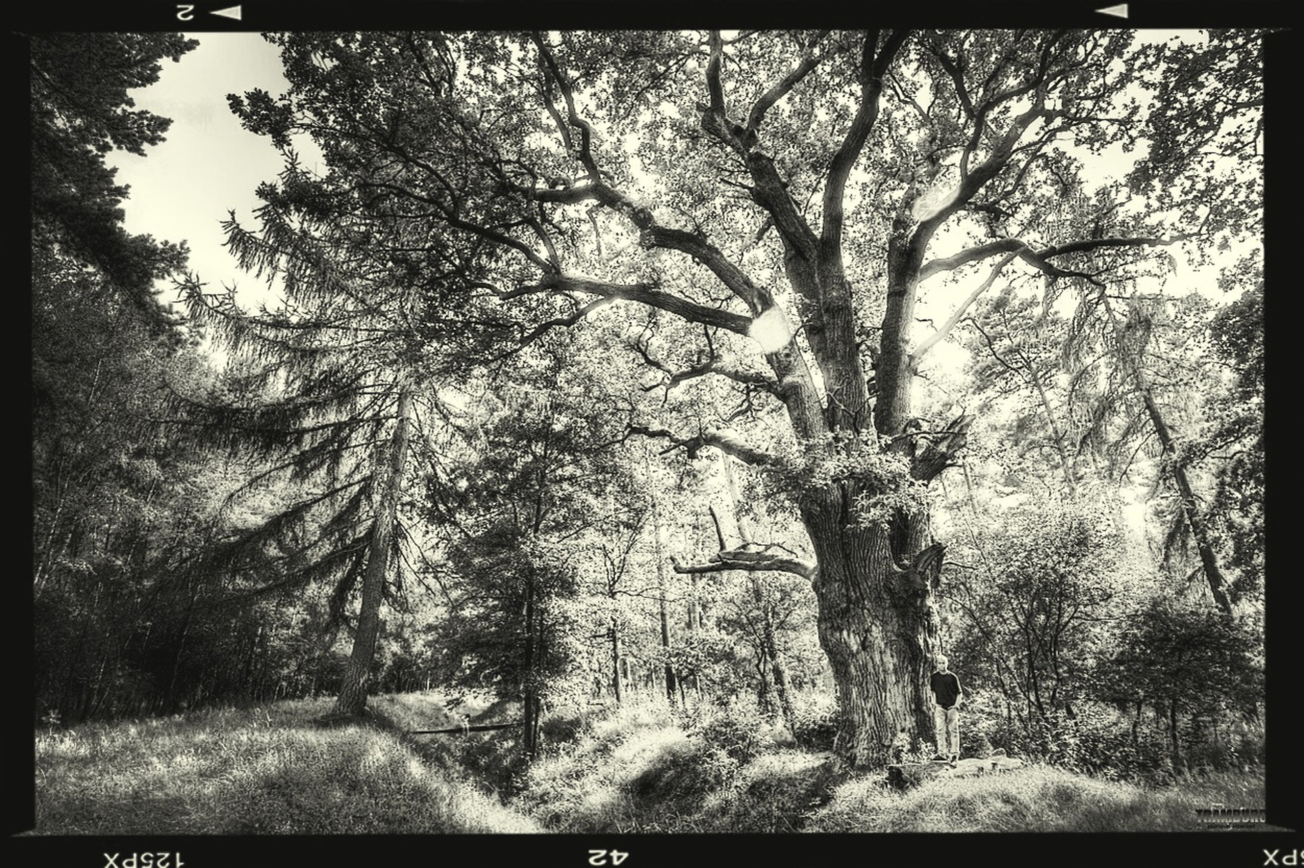 transfer print, tree, auto post production filter, growth, branch, tranquility, tranquil scene, nature, beauty in nature, scenics, forest, sky, tree trunk, day, bare tree, landscape, outdoors, non-urban scene, field, no people