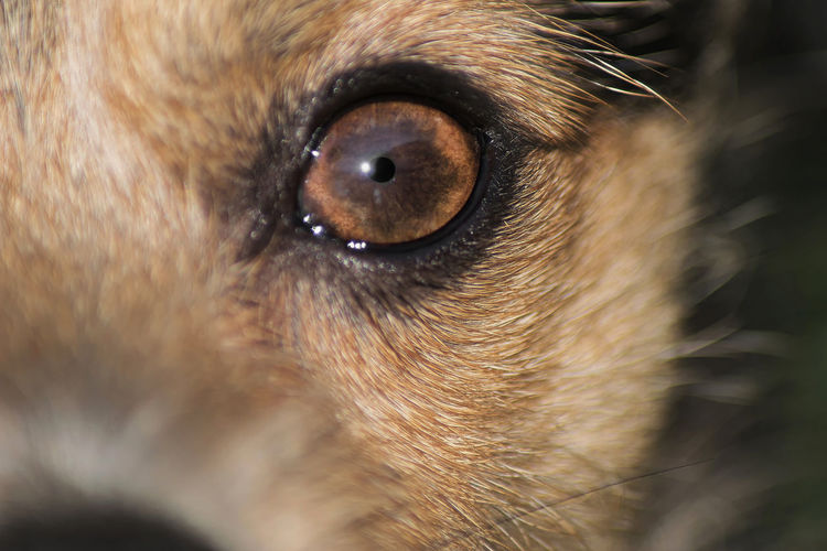 Animal Animal Eye Animal Hair Animal Head  Animal Nose Animal Themes Brown Close-up Dog Dog❤ Domestic Animals Eye Eyes Watching You Full Frame Mammal Mr.tiny No People One Animal Pets Selective Focus Snout Whisker Zoology