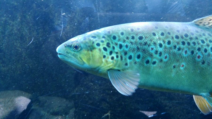 Fishes Stuttgart Swimming Spots Green Nature Fresh Water Fishtank Trout Spotted Brook Trout Aquarium Blue Fish Animal Portrait Zoo Zoology Animal Themes UnderSea Sea Life Swimming Underwater Sea Water Animal Fin Fish Close-up Adult Animal Animals In Captivity Fish Tank