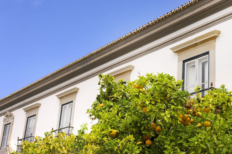 Low angle view of oranges growing on tree by building against clear sky