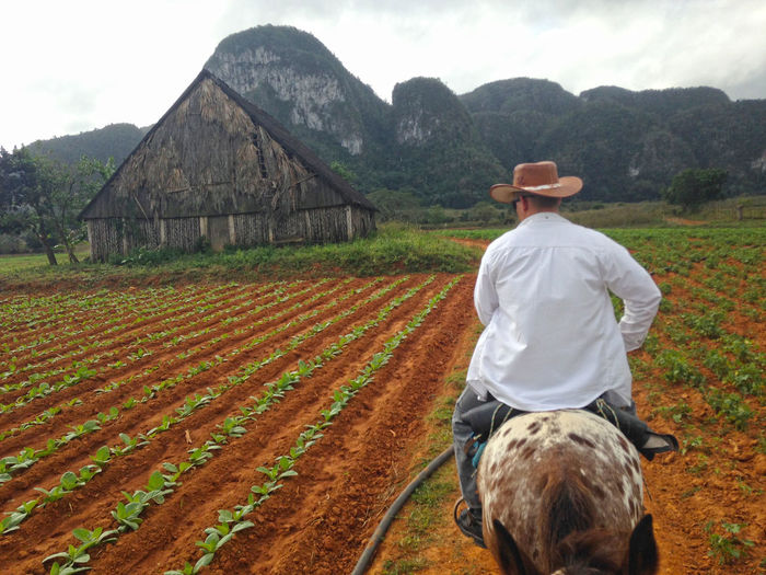 Viñales Valley, Cuba Viñales Vinales Cuba Cuba Tobacco Plantation Farm Agruiculture Mountains Domestic Animals Animal Themes Hat Animal Agriculture Domestic Field One Animal Rear View Landscape Mammal Pets Land One Person Clothing Livestock Rural Scene Nature Day Farmer Outdoors Herbivorous