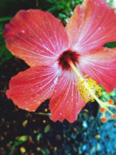 Dark Pink By Motorola hybiscus bloom