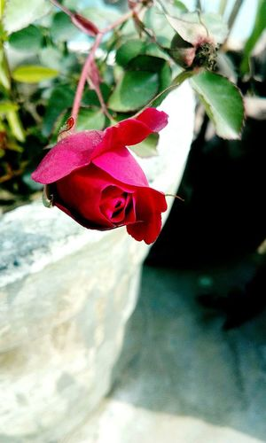 ♥♥♥ 🌹🌹 👻 Roses World 🌹❤️🌹 Rose♥ Naturelovers Nature_collection Nature Photography Beauty In Nature Evenningtime EyeEm Best Shots Eyyem Photography EyeEm Nature Lover EyeEm Selects EyeEm Gallery Red Rose 🌹 Flower Head Flower Bougainvillea Leaf Red Petal Rose - Flower Close-up Blooming Plant
