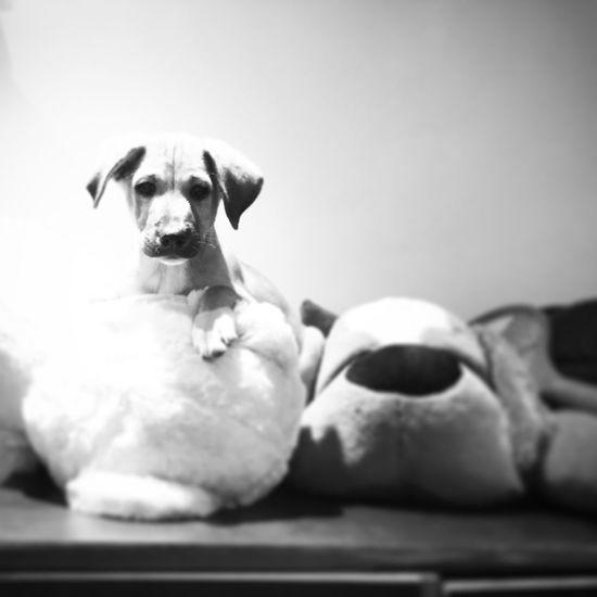 Furball Soft Toy Pretending Cutenessoverload Cute Playtime Dogs Pets Of Eyeem Pets Corner Puppy Love