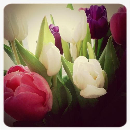 tulips of the