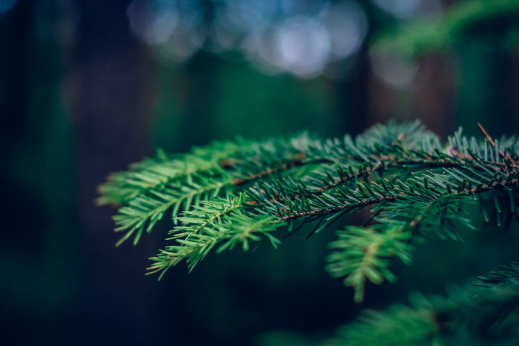 Exceptional Photographs EyeEm Nature Lover Bokehlicious Bokeh Love Bokeh Lights Poland Forestwalk Fragility Minimal Forest Photography Leaf Pinaceae Fern Close-up Green Color Spruce Tree Plant Life Growing Evergreen Tree Pine Woodland Forest Fire