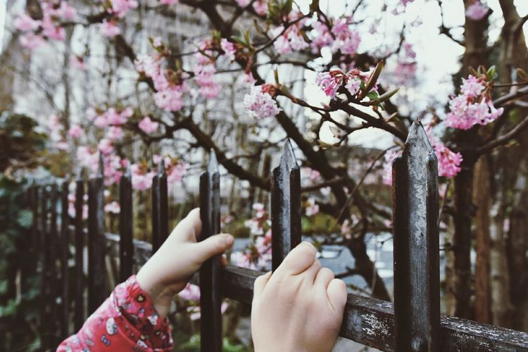 Close-up of hand holding pink flower tree