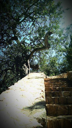 EyeEm TreePorn Olive Tree Ibiza Summer 2014 Taking Photos