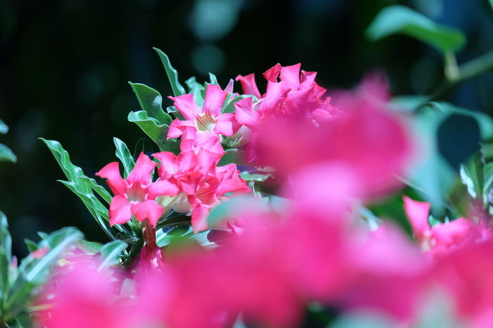Oleander 🌸🌸 Oleander Oleander Flowers Oleanders Oleander Plant Oleander Blossom Oleander Flower OLEANDERS Plant Oleander Leaves Flower Head Flower Pink Color Close-up Plant Flowering Plant In Bloom Blossom Plant Life