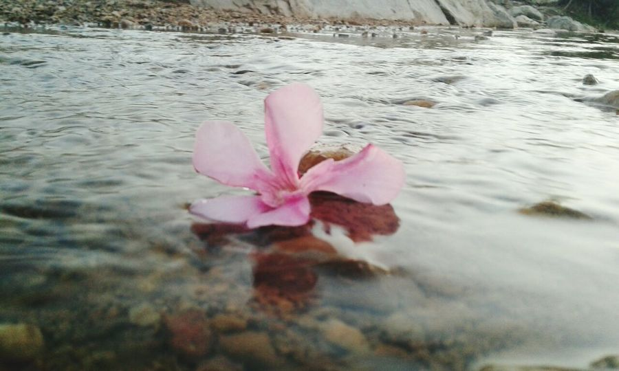 A picture of a beautiful pink flower Flower Fleurs Du Jardin FLEUR ROSE Rose - Flower B Flower Head Beauty Pink Color Beach Close-up Water Lily Water Plant Blooming Floating On Water Lotus Floating Flamingo Pond Swimming Animal Pollen Iceberg Pool Raft Lotus Water Lily Lily Pad Petal Lily First Eyeem Photo EyeEmNewHere