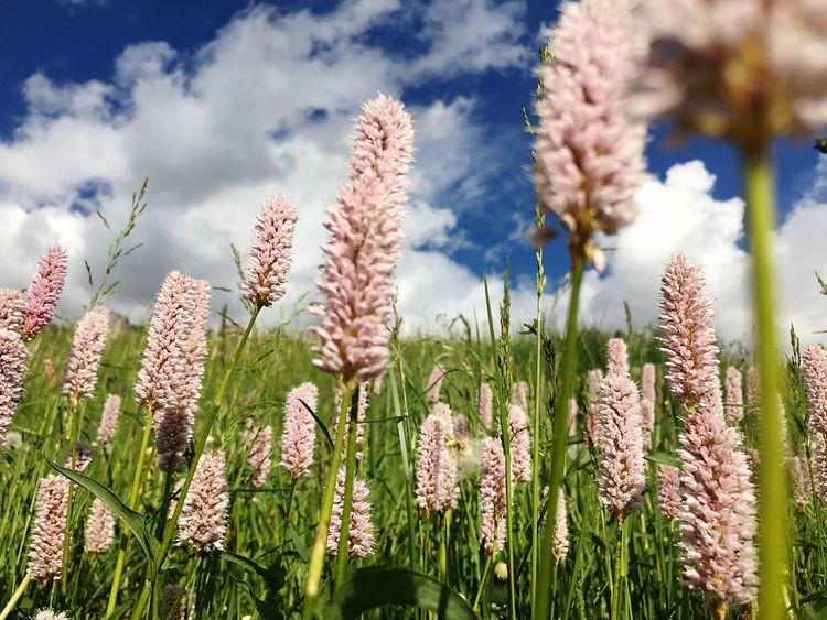 Wild Flowers Field UNESCO World Heritage Site Mountains And Sky Dolomites, Italy Enjoying Life Relaxing Beauty Of Nature Mountain View Rural Scene Clouds Sky Outdoor Relaxing Holidays Landscape Sky And Flowers Pink Flowers Pink Color Focus On Foreground Rural Scenes Grass Botany