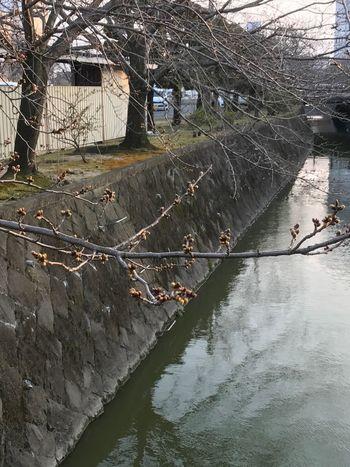 通勤路の桜🌸あと少しで逢えるね❣️ Tree Built Structure Nature Architecture Water Beauty In Nature Outdoors Day No People Happy Diet Gym Love Japan Fukuoka EyeEm Gallery EyeEm Best Shots Iphone7 春 3月 ダイエット ランニング ウォーキング 筋トレ 頑張る