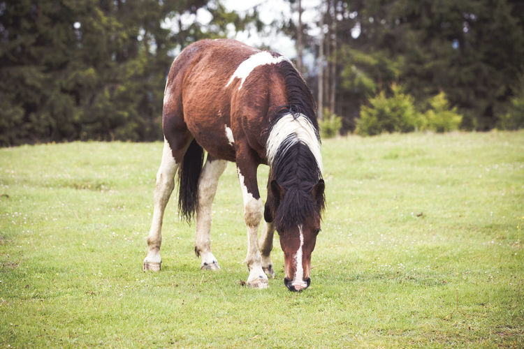 Full length of a horse grazing in field