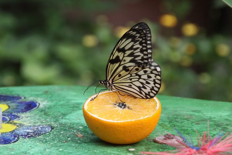Close-up of butterfly on halved orange fruit