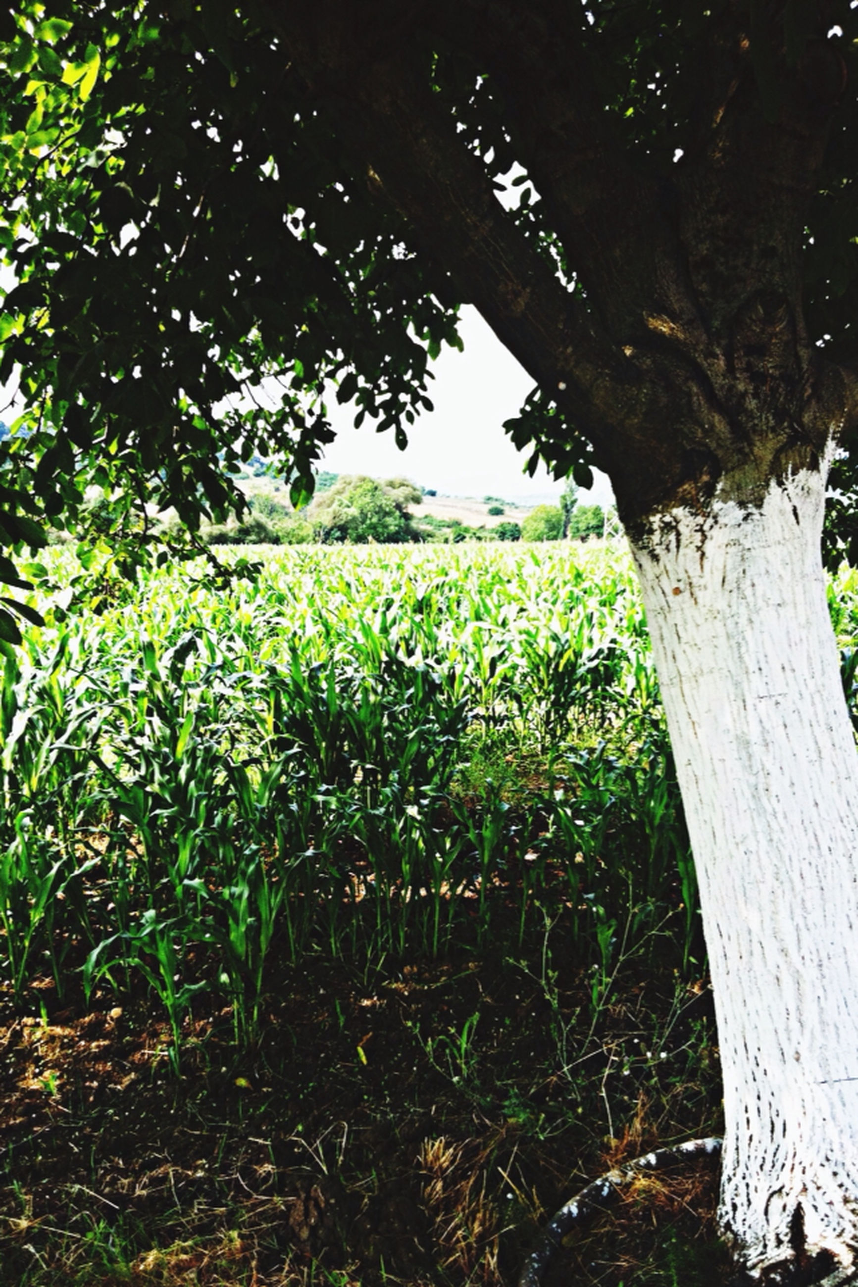 tree, growth, tranquility, green color, nature, tranquil scene, grass, tree trunk, field, beauty in nature, landscape, branch, scenics, plant, day, green, growing, sunlight, outdoors, grassy