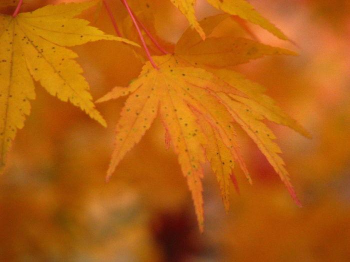 黄色い秋 Japan 紅葉 Nature Autamn