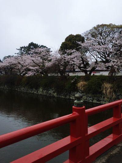 ひさびさに小田原城へ。 お城 Castle Cherryblossom Cherry Blossoms 桜
