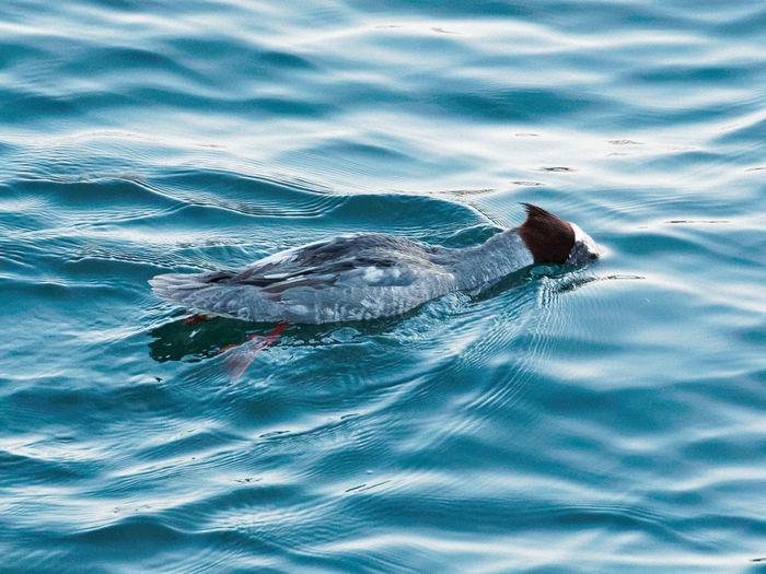 Bird swimming in water
