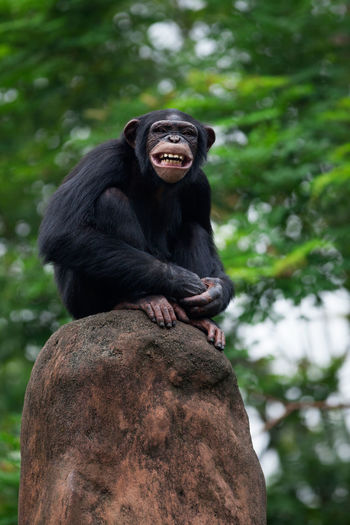 Low angle view of chimpanzee sitting on rock
