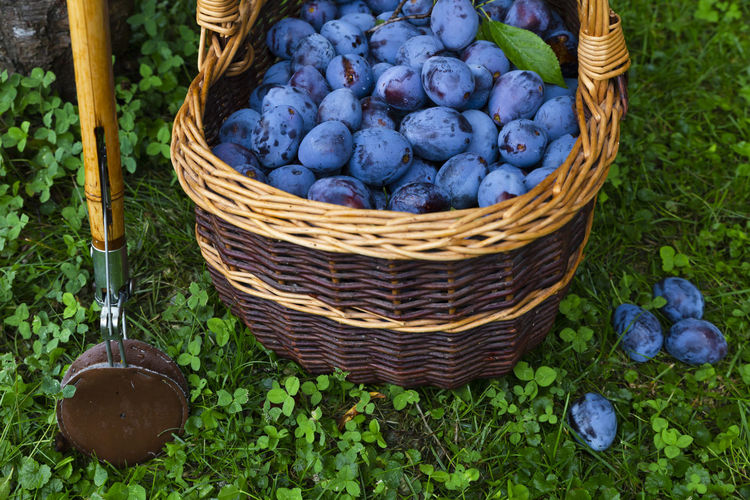 Freshly harvested delicious and juicy plums in a brown basket resting on the grass besides a plum tree and a wooden harvesting stick in an orchard Autumn Grass Tree Tree Trunk Wicker Basket Blue Food Food And Drink Freshness Fruit Garden Harvest Harvest Time Harvesting Healthy Eating High Angle View No People Orchard Organic Outdoors Plum Prune Ripe Wellbeing