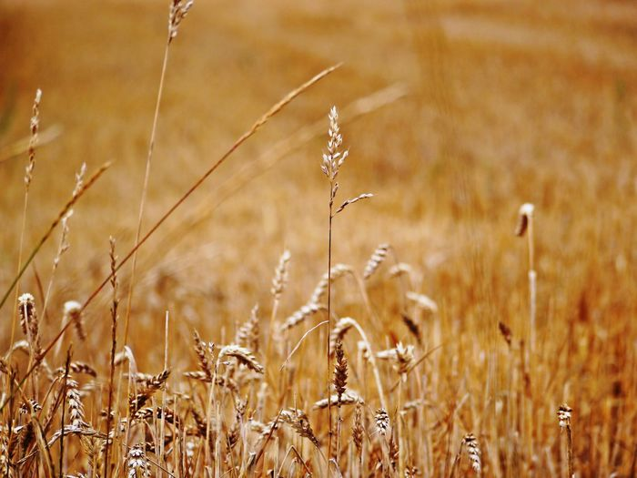 Agriculture Beauty In Nature Cereal Plant Close-up Crop  Day Dry Land Environment Farm Field Focus On Foreground Growth Land Landscape Nature No People Oat - Crop Outdoors Plant Plantation Rural Scene Stalk Stubblefield Tranquility Wheat