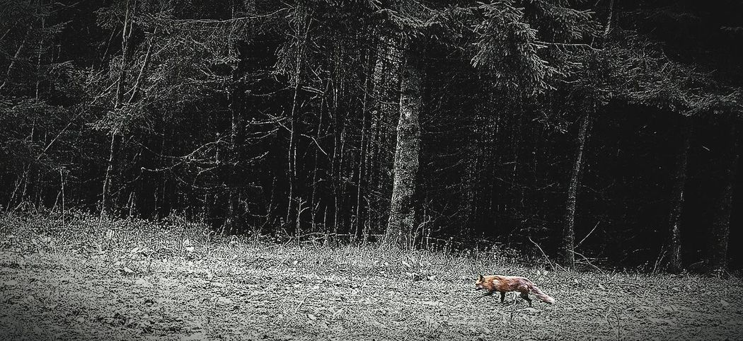 Nature Forest Animal Themes One Animal Fox Nature Animals In The Wild Forest Photography New Talents Animals