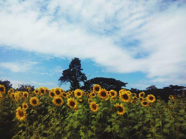 Enjoying Life Holiday Trip Sunflower Nature