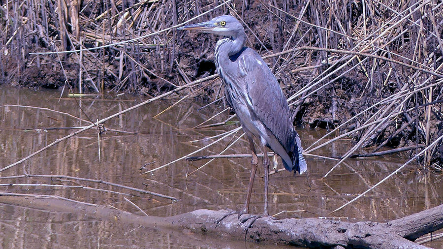 Animals In The Wild Bird Day Grey Heron On The River Shore Heron Nature No People One Animal