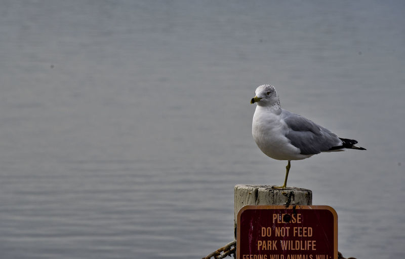 One-Legged Seagull Perched on a Do Not Feed Wildlife Sign California Ocean Seagulls Animal Themes Animal Wildlife Animals In The Wild Bird Close-up Communication Day Humorous Animals Nature No People One Animal One-legged Seagull Outdoors Perching Sea Seagull Text Water
