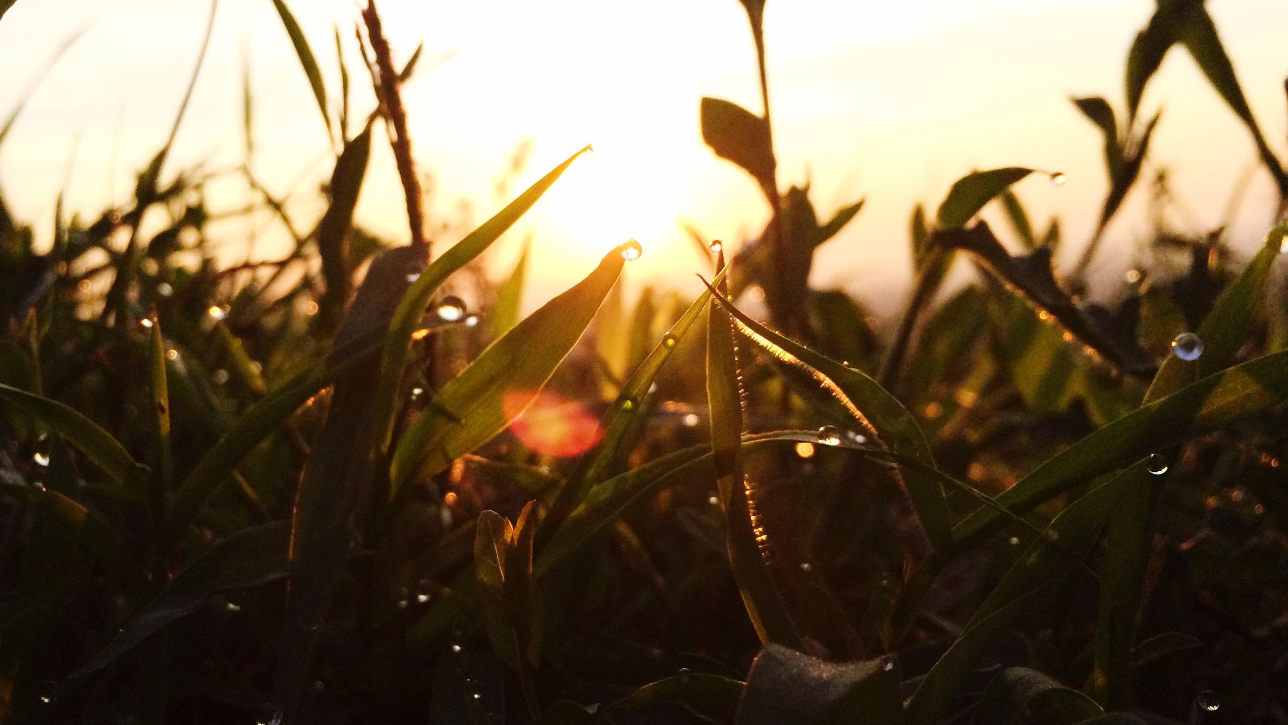 sun, grass, growth, plant, close-up, nature, focus on foreground, beauty in nature, sunset, tranquility, sunlight, drop, field, water, lens flare, selective focus, blade of grass, wet, dew, fragility