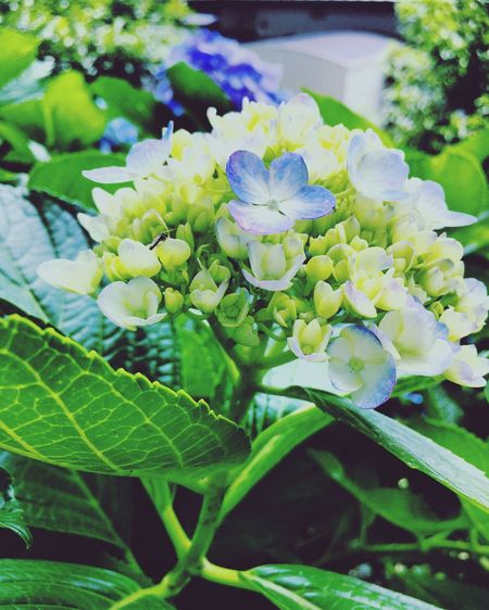 Hydrangea Baby Green White Color Blue Japan Ajisai Summer Flowers Raining Season Makes Season Beautiful Chilling At Home How To Spend Sunday EyeEm Selects