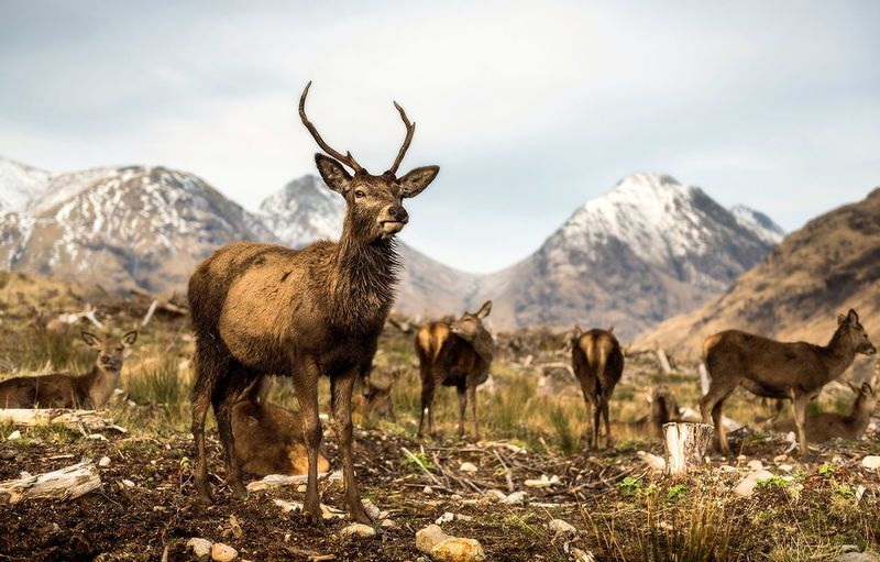 Pointy dogs Animal Wildlife Animals In The Wild Animal Mountain Animal Themes Mountain Range Glencoe Scotland Glencoe Scotland EyeEm Masterclass EyeEm Best Shots EyeEmNewHere Landscape_Collection Landscape Scotland 💕 Wildlife