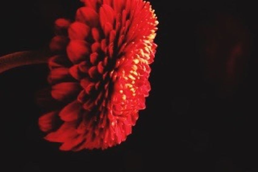 ガーベラ 花 Flower 1番好きな花。 Relaxing Relaxing