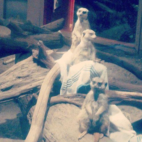 I saw some of Timon's family yesterday! Meerkats Maritimeaquarium Lionking Hakunamutatata