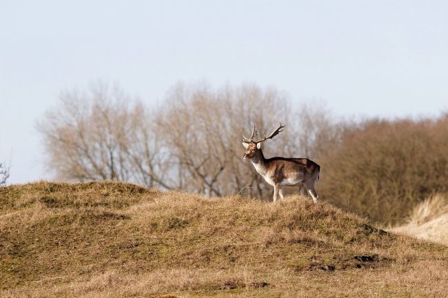 On The Lookout Stag Fallow Deer Dunes Animals In The Wild Animal Themes One Animal Nature Standing Animal Wildlife No People Beauty In Nature Clear Sky Field Tree Mammal Outdoors Grass Day Antler Animal Call Sky Landscape