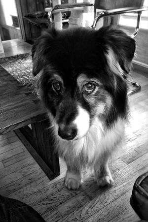 Monochrome Black And White Pets Domestic Animals One Animal Animal Themes Mammal Dog Indoors  Looking At Camera Portrait No People