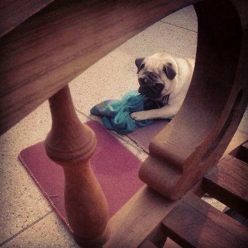 Pugsrequest Puppy Pug Daytime Delhidragons Funtimes Amezing Fitness Christmas
