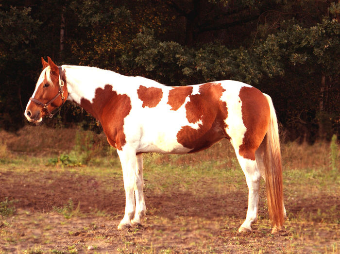 Animal Animal Themes Animal Wildlife Day Domestic Domestic Animals Field Herbivorous Horse Land Livestock Mammal Nature No People One Animal Outdoors Pinto Plant Ranch Side View Standing Tobiano Tree Vertebrate