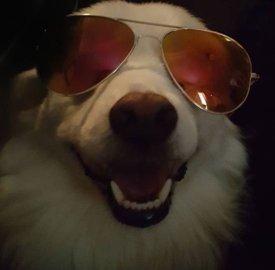 Dog Pets Sunglasses One Animal Domestic Animals Smiling Dog Smiling Dogs Sunglasess Dog Photography Dogslife Dogs Of EyeEm American Eskimo Dog Love Dogphoto Black Black And White Black Background