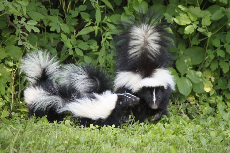 Animal Themes Day Domestic Animals Grass Growth Mammal Nature No People Outdoors Plant Skunk Family Skunks Skunks Are Cute