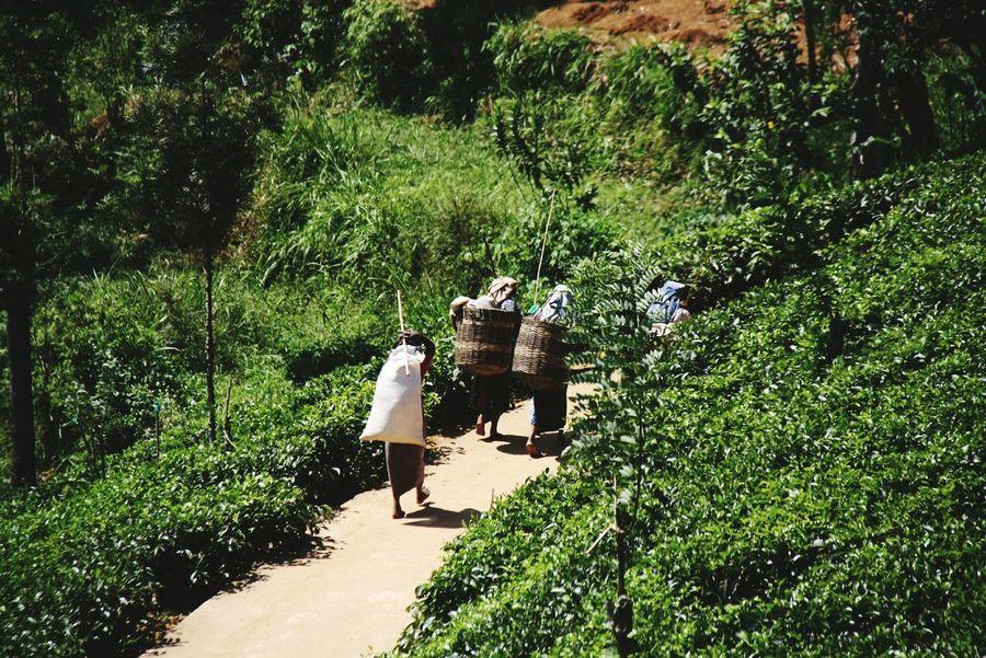 Hello World Sri Lanka People Working Teaplantations NuweraEliya Women