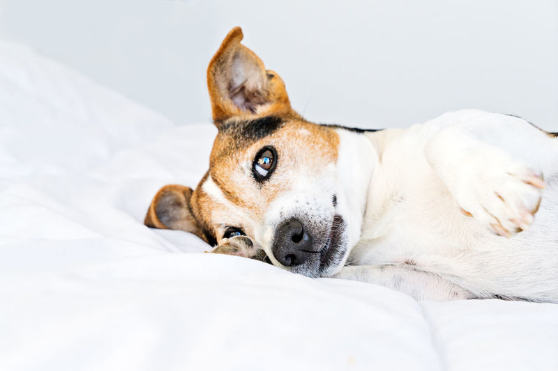 Dog Lazy Sleepy Bedroom Wake Up Pet Health Care Sleep Morning Cute Routine Jack Russell Terrier Puppy Portrait Beautiful White Awake Domestic Boring Happy Funny Holiday Looking Boredom Doggy Tired Relax Bedding Bed Handsome Sleepiness Expression Relaxation Comfortable Resting Idle Duvet Muzzle HEAD Paw Tomfool Tomfoolery Candid Adorable No People Animal Domestic Animals Lying Down Animal Themes Pets One Animal
