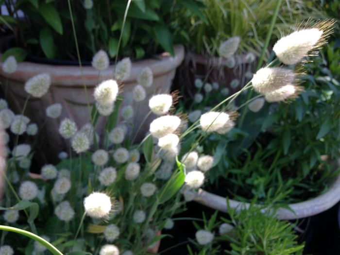 Bunny Tails - grasses Growing Our Own