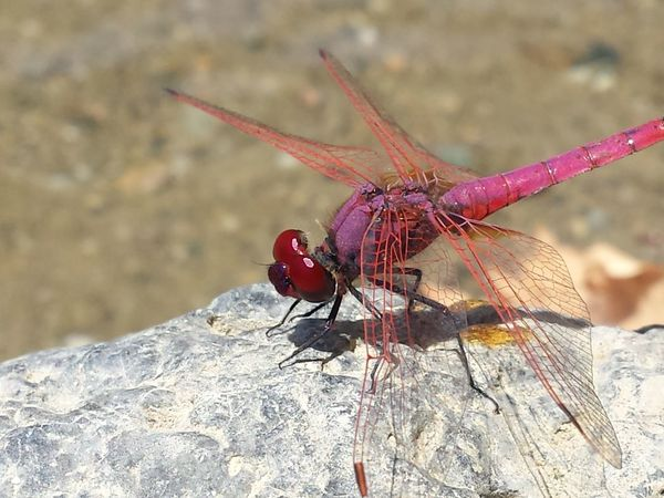 Animal Themes Animal Wildlife Animals In The Wild Close-up Day Dragonfly Focus On Foreground Insect Nature No People One Animal Outdoors Pink Dragonfly Red Sunlight