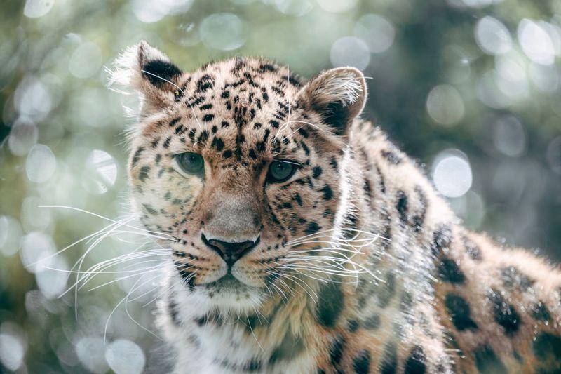Belgium Zoology Mediaanvers Bellewaerde Wwf Leopard Amur Amur Leopard Amoerluipaard Feline Animal Themes Animal Cat Big Cat Mammal Animal Wildlife One Animal No People Focus On Foreground Nature Animal Head