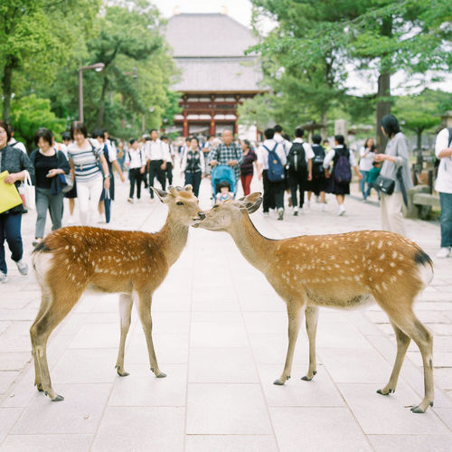 Two deer obstruct the path leading to the Middle Gate of the Tōdai-ji complex in the former Japanese capital of Nara. Afternoon, Chu-Mon Crowd Day Deer Deer Park Holiday Holidays Incidental People Japan Large Group Of People Outdoors Quirky Real People Temple Todai-Ji Togetherness Tourists Travel Unexpected Vacation かわいい にほん 奈良 奈良市