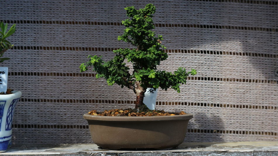 Japanese bonsai tree on pot Green Japan Nature Art Beauty In Nature Bonsai Tree Botany Culture Day Design Freshness Green Color Growth Nature No People Outdoors Plant Potted Plant Sunlight Traditional Tree