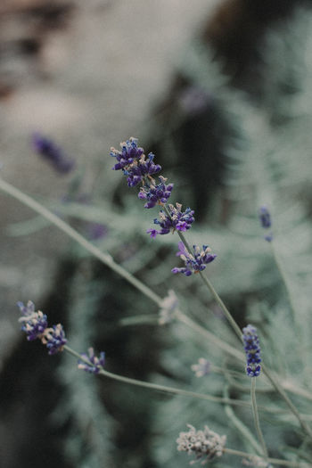 Beauty In Nature Blooming Blue Flower Blue Flowers Blue Flowers Green Leaves Day Flower Fragility Freshness Growth Lavender Lavenderflower Nature No People Outdoors Plant