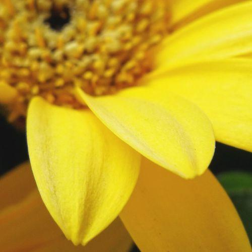 gerber Gerber Macrocaptures Macro_flower Huaweiphotography Macro Flower Head Flower Yellow Petal Close-up